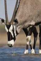 Oryx drinking at waterhole, Oryx gazella, Etosha National Pa
