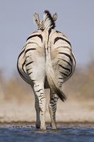 Zebra rear view at waterhole, Equus quagga, Etosha National