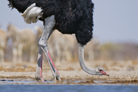 Ostrich male drinking at waterhole, Struthio camelus, Etosha