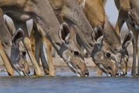 Greater kudus,Tragelaphus strepsiceros, drinking at waterhol 02314005910| 写真素材・ストックフォト・画像・イラスト素材|アマナイメージズ