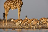 Giraffe, Giraffa camelopardalis, and springbok, Antidorcas m