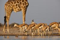Giraffe, Giraffa camelopardalis, and springbok, Antidorcas m 02314005912| 写真素材・ストックフォト・画像・イラスト素材|アマナイメージズ