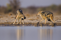 Black-backed jackals at waterhole, Canis mesomelas, Etosha N