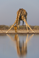 Giraffe drinking at waterhole, Giraffa camelopardalis, Etosh