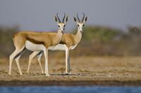 Springbok at waterhole, Antidorcas marsupialis, Etosha Natio