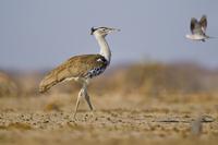 Kori bustard, Ardeotis kori, Etosha National Park, Namibia