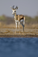Springbok at waterhole, Antidorcas marsupialis, Etosha Natio