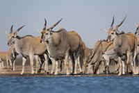 Elands at waterhole, Taurotragus oryx, Etosha National Park,