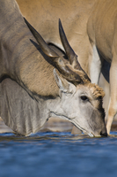 Eland male drinking at waterhole, Taurotragus oryx, Etosha N