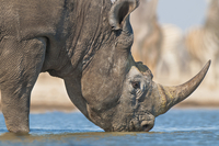 Black rhino drinking at waterhole, Diceros bicornis, Etosha