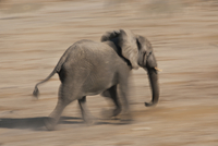 Young elephant running, Loxodonta africana, Etosha National