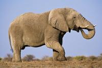 Elephant bull, Loxodonta africana, Etosha National Park, Nam