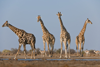 Giraffes at waterhole, Giraffa camelopardalis, Etosha Nation