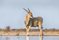 Eland male at waterhole, Taurotragus oryx, Etosha National P 02314005932| 写真素材・ストックフォト・画像・イラスト素材|アマナイメージズ