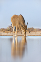 Eland male drinking at waterhole, Taurotragus oryx, Etosha N