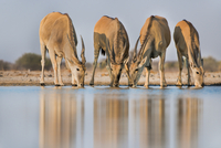 Elands drinking at waterhole, Taurotragus oryx, Etosha Natio 02314005934| 写真素材・ストックフォト・画像・イラスト素材|アマナイメージズ