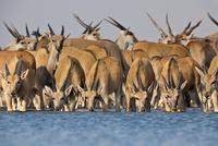 Elands drinking at waterhole, Taurotragus oryx, Etosha Natio 02314005935| 写真素材・ストックフォト・画像・イラスト素材|アマナイメージズ