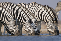Zebras drinking at waterhole, Equus quagga, Etosha National