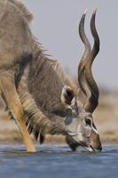 Greater kudu drinking at waterhole, Tragelaphus strepsiceros