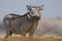 Warthog, Phacochoerus africanus, Etosha National Park, Namib 02314005942| 写真素材・ストックフォト・画像・イラスト素材|アマナイメージズ