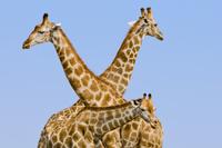Giraffes, Giraffa camelopardalis, Etosha National Park, Nami 02314005943| 写真素材・ストックフォト・画像・イラスト素材|アマナイメージズ