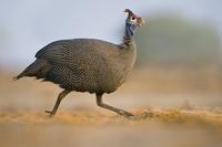 Helmeted guineafowl running, Numida meleagrides, Etosha Nati