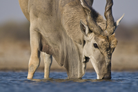 Eland male drinking at waterhole, Taurotragus oryx, Etosha N 02314005948| 写真素材・ストックフォト・画像・イラスト素材|アマナイメージズ