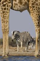 Giraffe, Giraffa camelopardalis, and zebras, Equus quagga, a