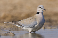 Ring-necked dove at waterhole, Streptopilia capicola, Etosha