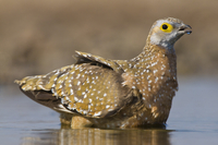 Namaqua sandgrouse female, Pterocles namaqua, soaking belly
