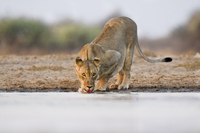 Lioness drinking at waterhole, Panthera leo, Etosha National