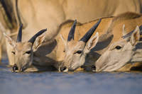 Elands drinking at waterhole, Taurotragus oryx, Etosha Natio