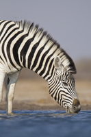 Zebra drinking at waterhole, Equus quagga, Etosha National P