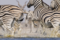 Zebras running from waterhole, Equus quagga, Etosha National
