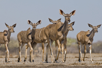 Greater kudu females and calves, Tragelaphus strepsiceros, E