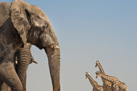 Elephants, Loxodonta africana, and giraffes, Giraffa camelop