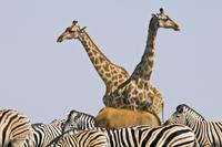 Giraffes, Giraffa camelopardalis, zebras, Equus quagga, and