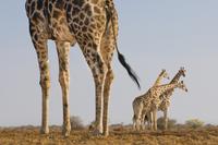 Giraffes, Giraffa camelopardalis, Etosha National Park, Nami 02314005973| 写真素材・ストックフォト・画像・イラスト素材|アマナイメージズ