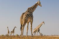 Giraffes, Giraffa camelopardalis, Etosha National Park, Nami 02314005975| 写真素材・ストックフォト・画像・イラスト素材|アマナイメージズ