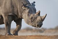 Black rhino, Diceros bicornis, Etosha National Park, Namibia