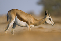 Springbok, Antidorcas marsupialis, Etosha National Park, Nam