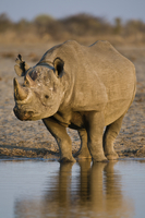 Black rhino at waterhole, Diceros bicornis, Etosha National