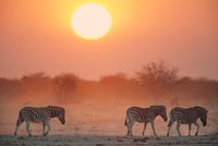 Zebras at sunset, Equus quagga, Etosha National Park, Namibi