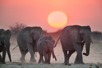 Elephants, Loxodonta africana, females and offspring, Etosha