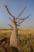 Desert plant, Palmwag, Torra Conservancy, Damaraland, Namibi