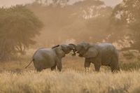 Young desert elephants, Loxodonta africana, twining trunks,
