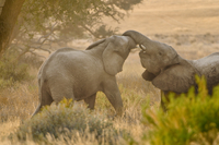 Young desert elephants, Loxodonta africana, sparring, Huab R