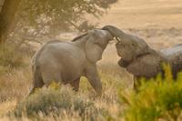 Young desert elephants, Loxodonta africana, sparring, Huab R 02314005989| 写真素材・ストックフォト・画像・イラスト素材|アマナイメージズ