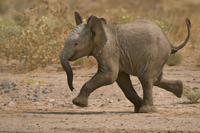 Young desert elephant running, Loxodonta africana, Huab Rive