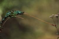 Parson's chameleon striking insect, Calumma parsonii, Easter